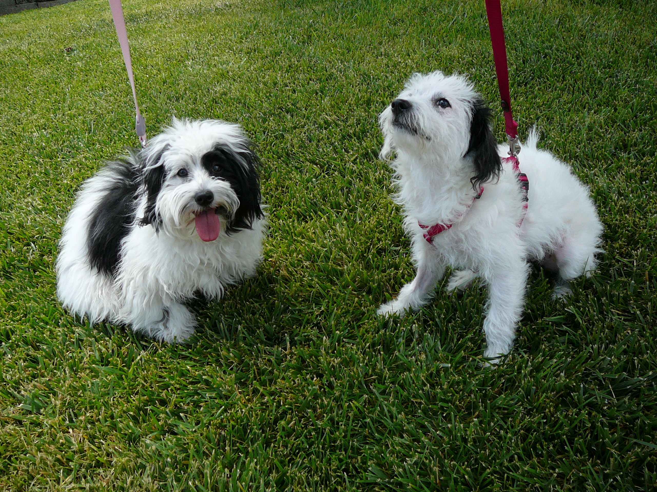 Schnauzer lhasa apso puppies