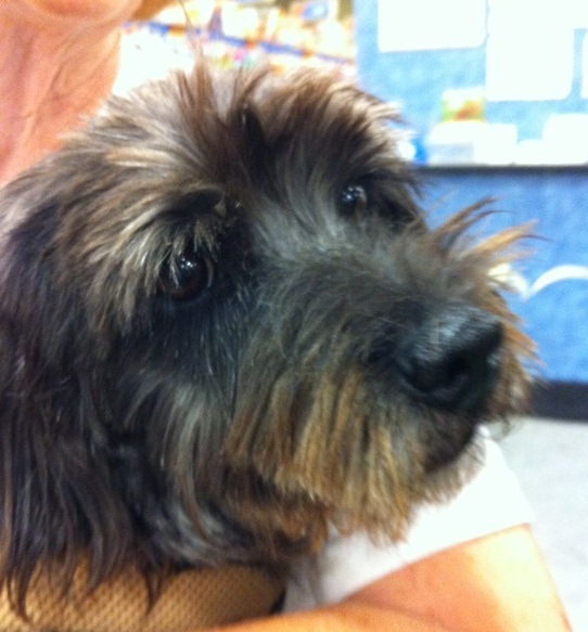 peacoat cairn terrier schnauzer mix adopted 9 13 12