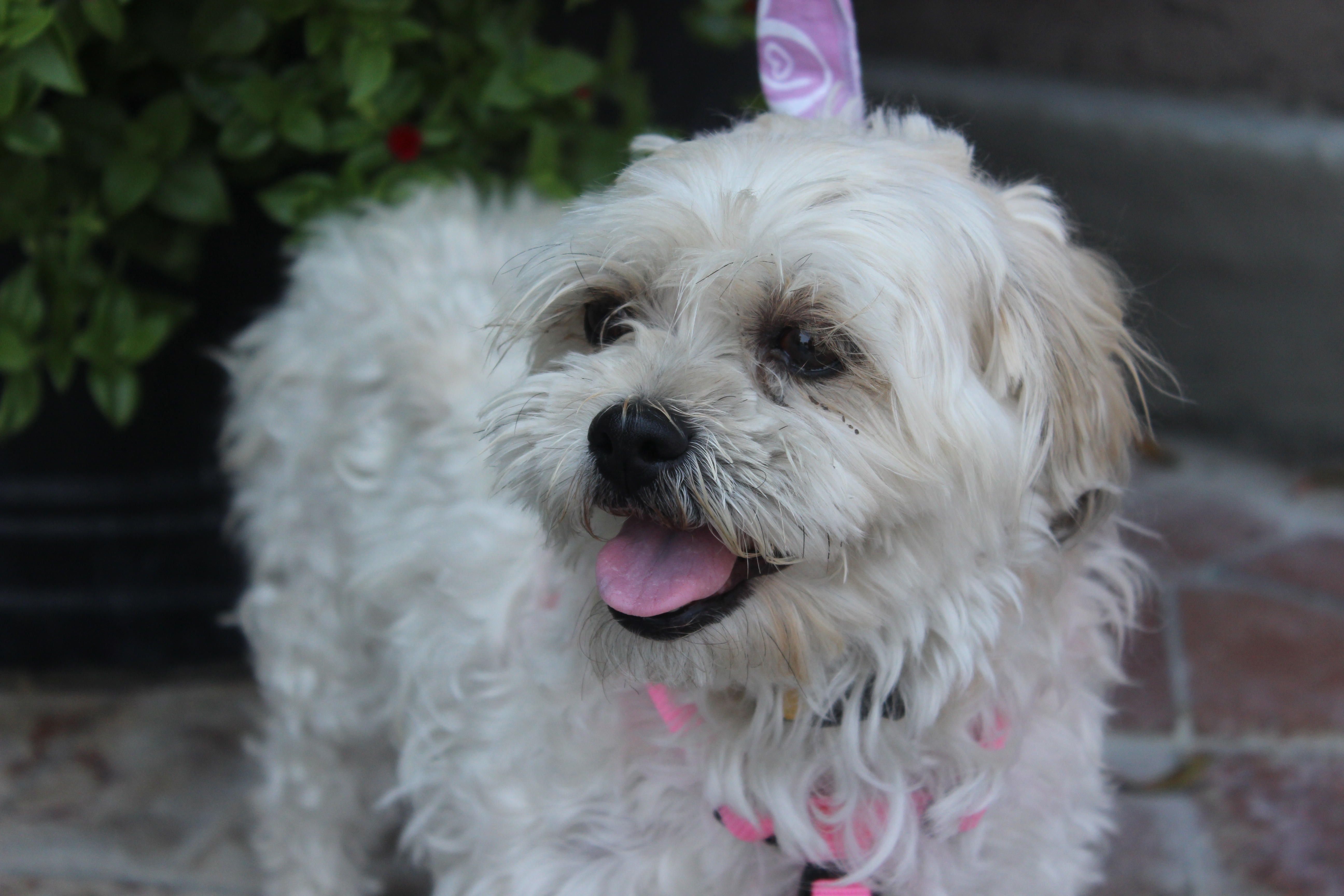 Peanut & Butter – Lhasa Apso/Poodle Mix – Adopted 7/15/13 ...