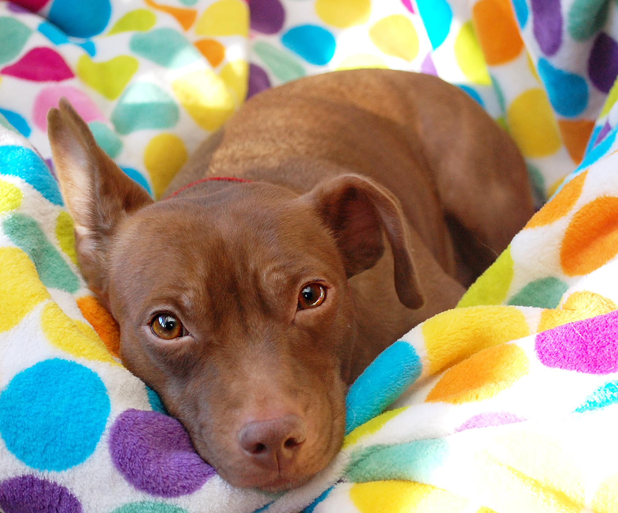 an extremely affectionate 3 year old 25 lb. female lab/dachshund mix
