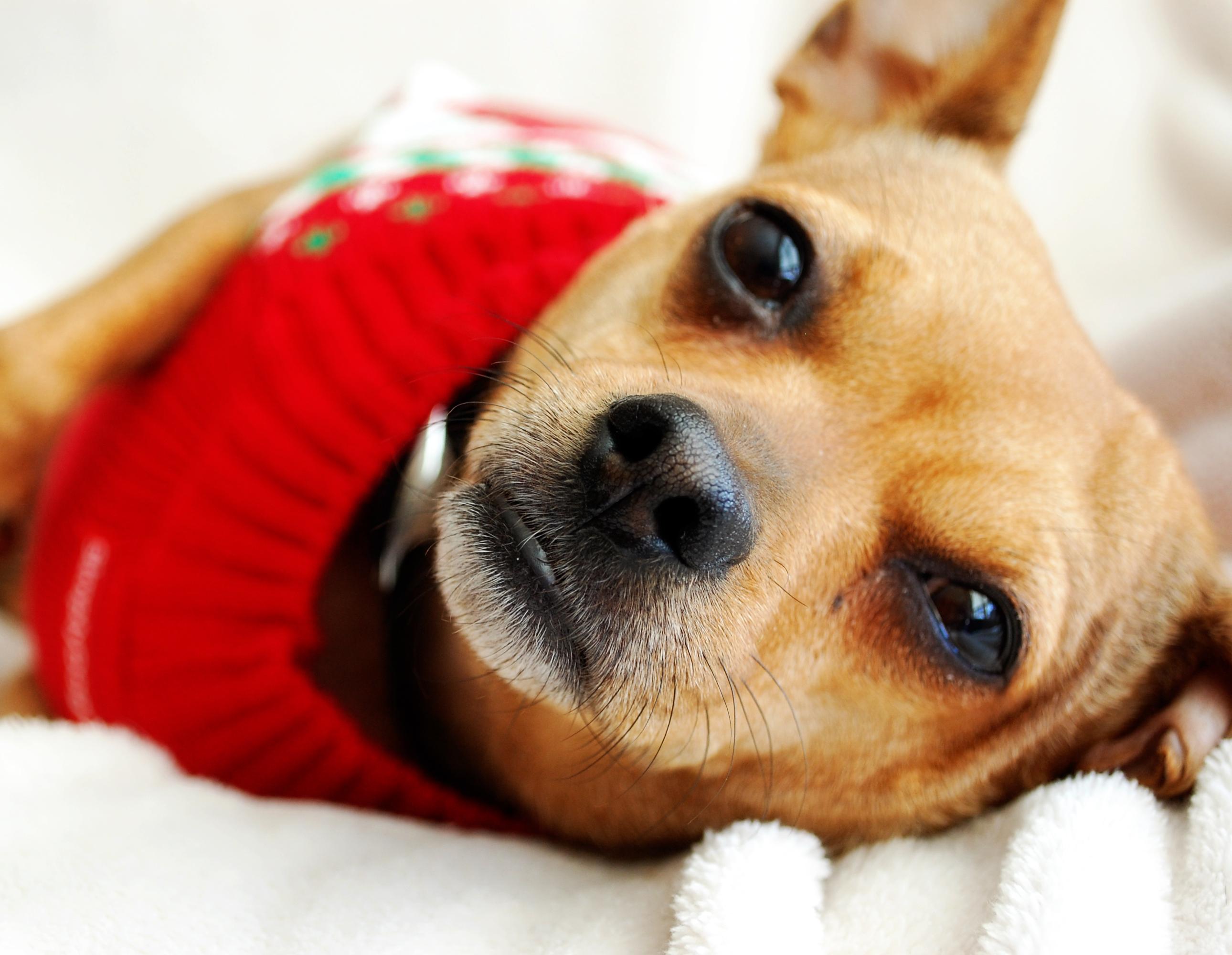 ChaCha – Chihuahua/French Bulldog mix – Adopted 9/20/14 ...