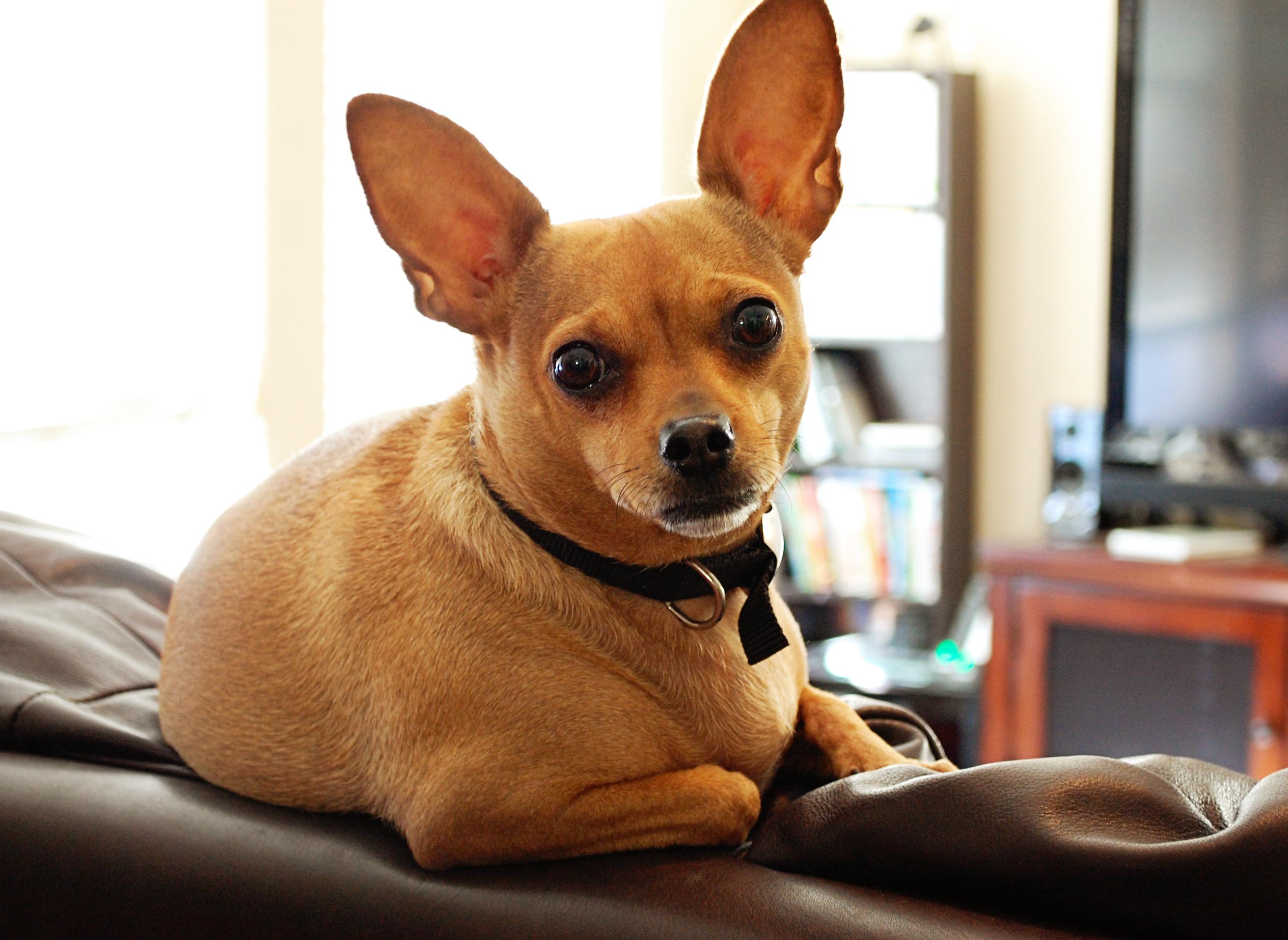 Alfa img - Showing > French Bulldog Chihuahua Mix