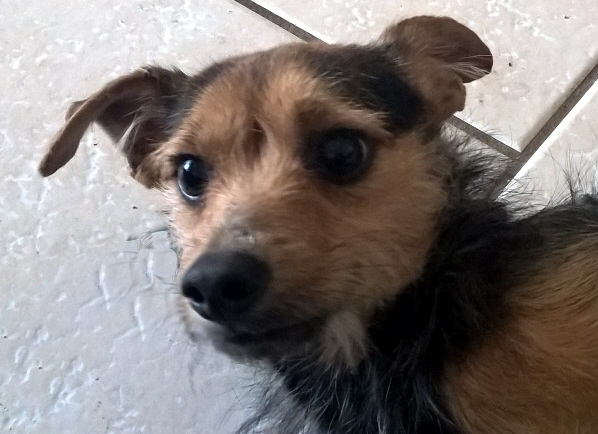 Max Yorkiedachshund Mix Adopted 12316 Foreclosed Upon Pets