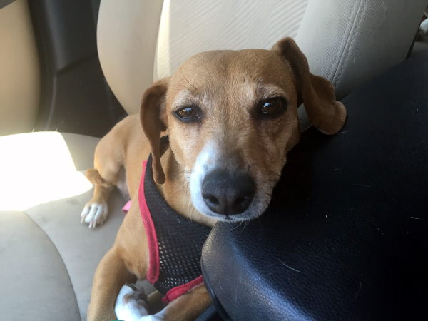 Comet – Jack Russell Terrier/Dachshund Mix – Adopted 9/13 ...